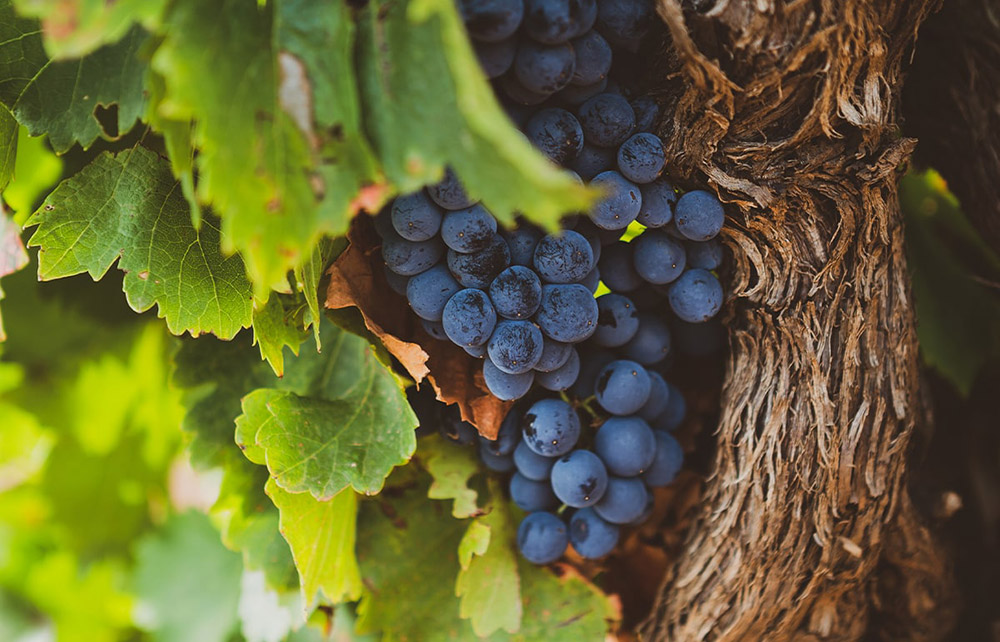 Garnacha grape, all you did not know about it